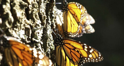 How do monarch butterflies migrate so far? Hint, it's in their genes.