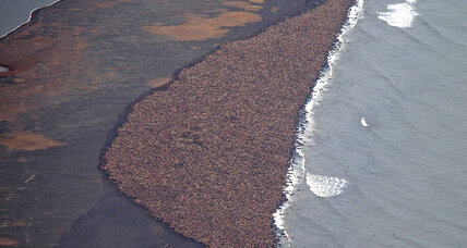 35,000 walrus in Alaska: Why they came ashore (+video)