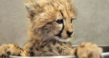 Are humans to blame for cheetah decline? Yes, say scientists.