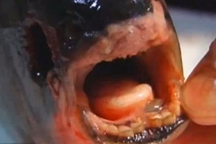 Fish with human teeth found. Or is it we who have fish teeth ...