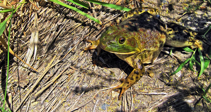 Ravenous bullfrogs invade Yellowstone River