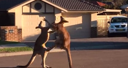 You really need to watch this kangaroo street brawl – for science, of course