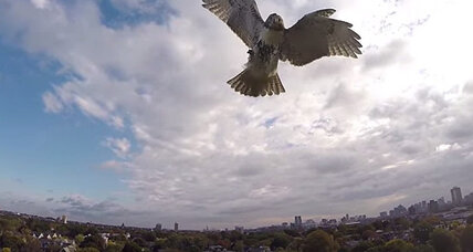 Hawk attacks drone, knocking it out of the sky