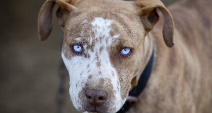 Colorado town considers repealing pit bull ban in landmark vote