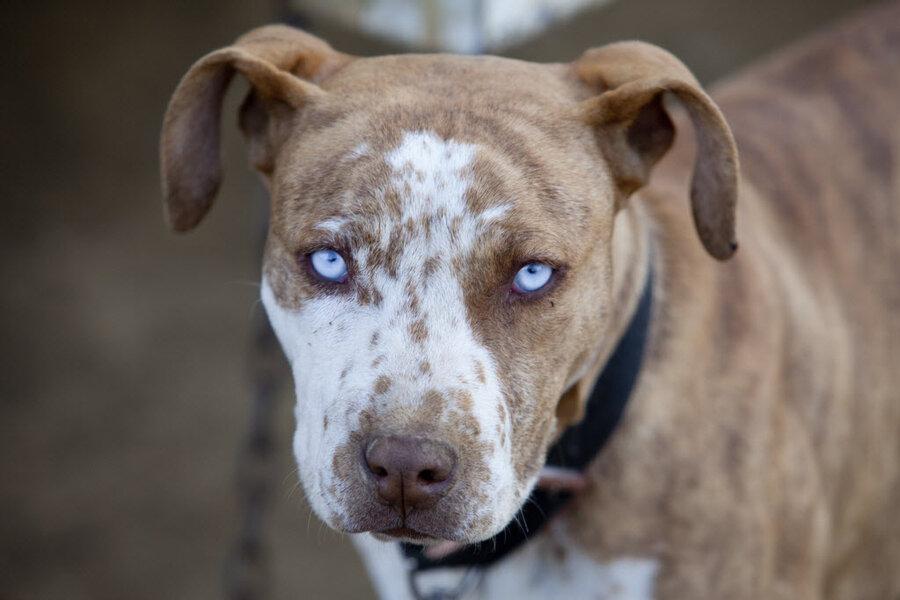 Colorado town considers repealing pit bull ban in landmark ...