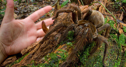 Scientist catches spider the size of a puppy