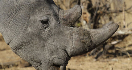 Only six northern white rhinos left. Is there any chance of a comeback?