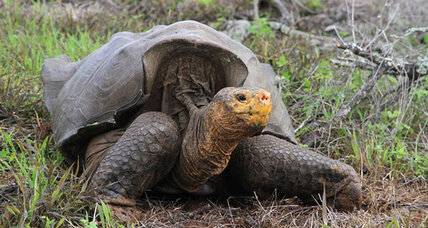How a giant tortoise made a giant comeback