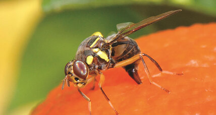Scientists catch fruit fly disguising itself as four distinct species