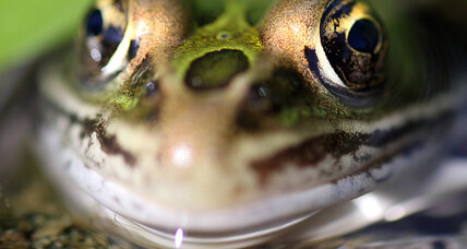 New leopard frog species calls New Jersey's I-95 corridor home