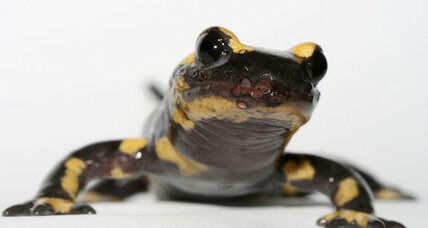 Could a European fungus wipe out US salamanders?