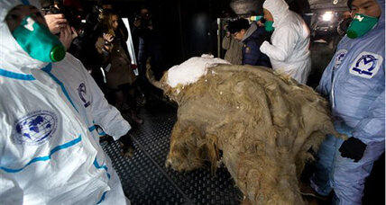 Baby mammoth carcass wows crowds in Moscow (+video)