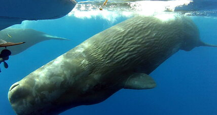 Massive pod of sperm whales spotted near Laguna Beach: Were they lost?