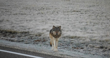 Is there a wolf in Grand Canyon National Park?