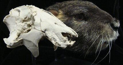 'Odd' rodent-like skull could help crack mystery of when mammals emerged