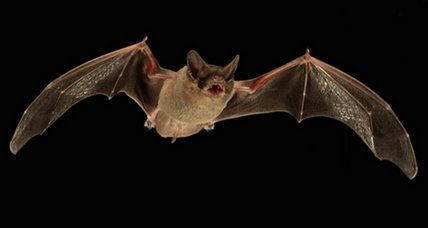 Bats can jam each other's sonar, say scientists (+video)