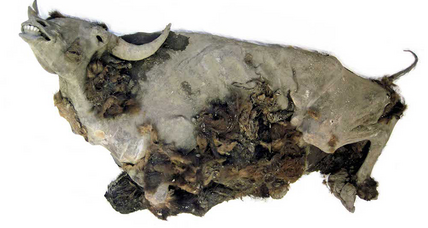 9,000-year-old bison mummy may provide clues to species extinction (+video)