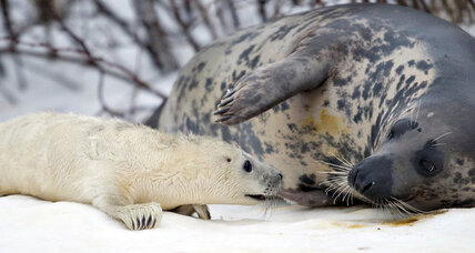 Why grey seals are loving tracking tags