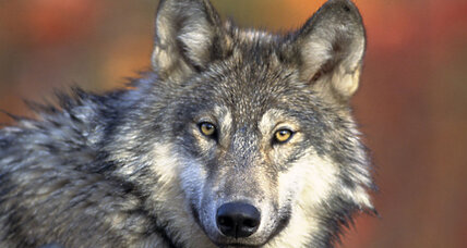Michigan voters reject gray wolf hunting