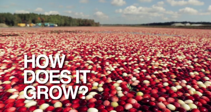 Cranberries: How do they really grow?