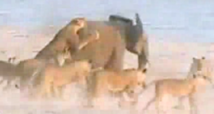 Baby elephant 'Hercules' perseveres in face of 14-lion attack