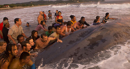 Valiant effort to save blue whale stranded on Nicaragua beach