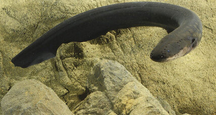 Why an electric eel's shocks are more impressive than a taser