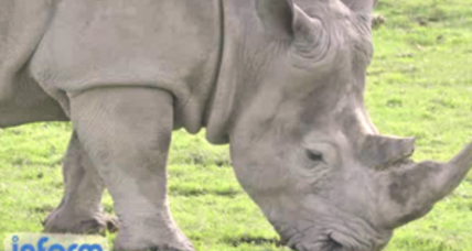 Only five white rhinos left on earth. Can this species be saved? (+video)