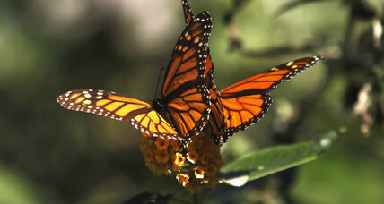 Monarch butterfly may join endangered species list in 2015