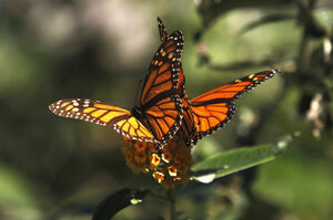 Monarch Butterflies Cling To A Plant At The Monarch Grove Sanctuary In  Pacific Grove, California, Tuesday. Monarch Butterflies May Warrant US  Endangered ...