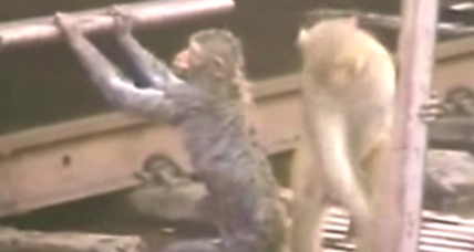Watch 'hero' monkey revive fallen monkey: A lesson for humans?