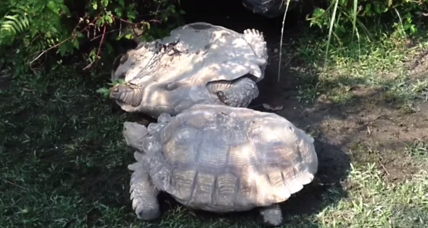 Watch giant tortoise rescue another tortoise