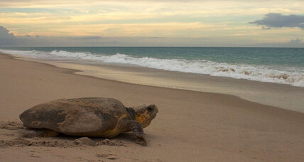 Scientists reveal bizarre method sea turtles use to find their way home