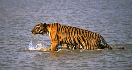 Why India's tiger population rebounded 30 percent