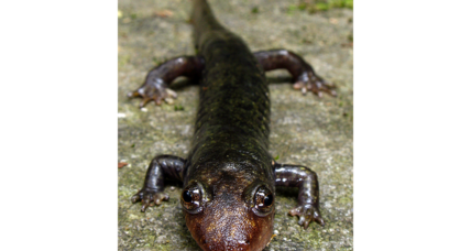 Caught eating giant salamander, Chinese officials face Xi's wrath