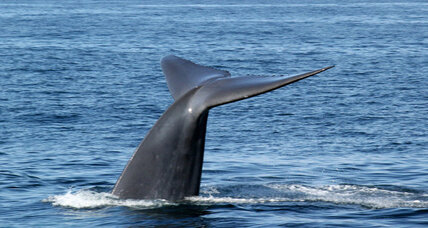 Baleen whales hear with their bones, study finds