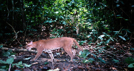 Watch this very rare African golden cat try to eat a monkey (+video)