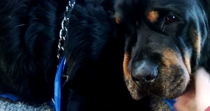 Can dogs feel emotion? Brutus the Rottweiler mourns death of his brother