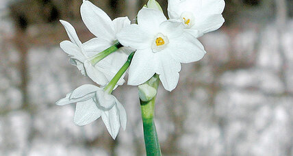 Paperwhites' promise of spring
