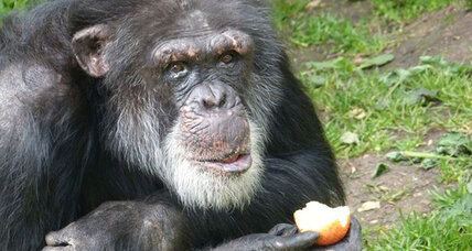 How to get a Dutch chimp to speak with a Scottish accent (+video)