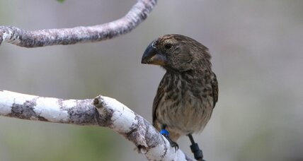 Taking after Darwin, scientists discover beak gene for famous finches