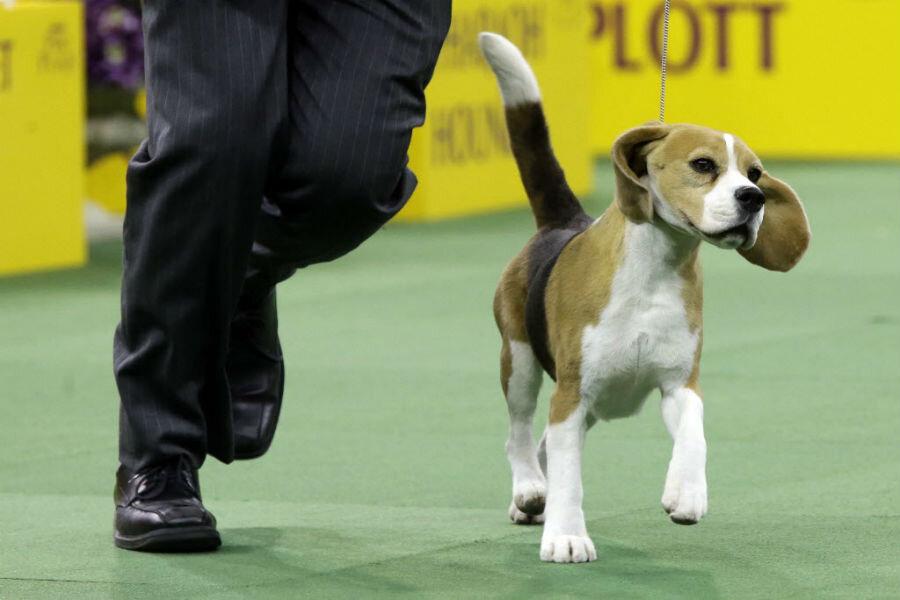 Westminster Dog Show  Beagle advances af917b86def2