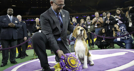 Beagle Miss P wins Westminster Dog Show. How did she beat the sheepdog?