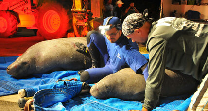 Dramatic Florida manatee rescue part of winter reality shift in Deep South (+video)