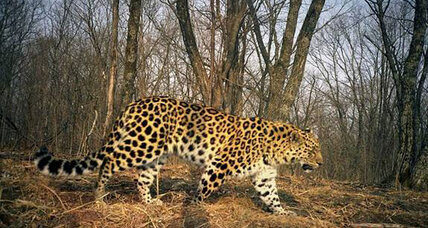 World's rarest big cat could be making a comeback