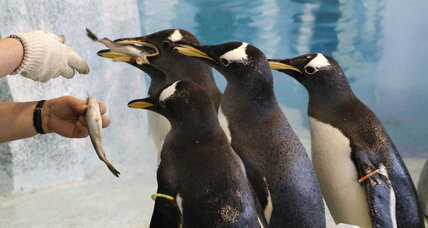 Penguins can't actually taste fish, say scientists