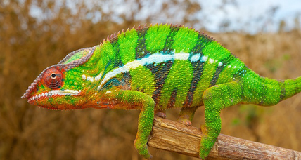 How do chameleons change color? (+video)