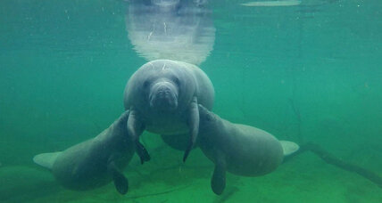 Record number of endangered manatees spotted in Florida's annual count (+video)