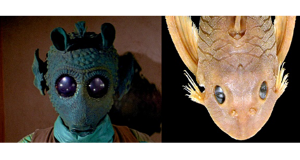 New catfish species named after Greedo from 'Star Wars'