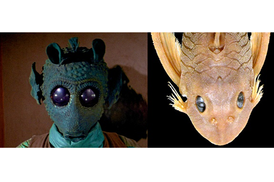 New catfish species named after greedo from 39 star wars for Star wars fish